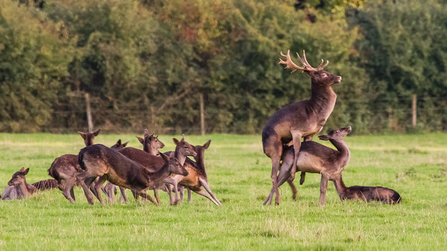 Rut master - Alpha Fallow stag and his hareem