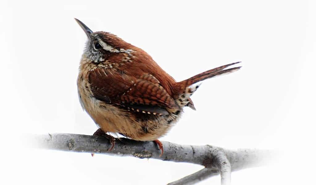 Les feux de forêt affectent le plumage des troglodytes