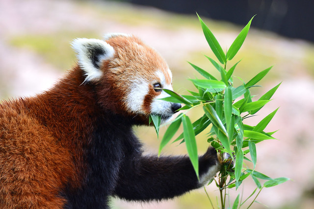 Red Panda - Lunch Time (In Explore - June 29, 2021)