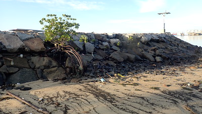 Mangroves growing naturally on artificial seawall, East Coast Park