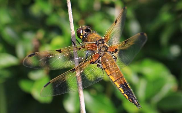 Four-spotted Chaser - Libellula quadrimaculata - Walberswick 150621 (4)