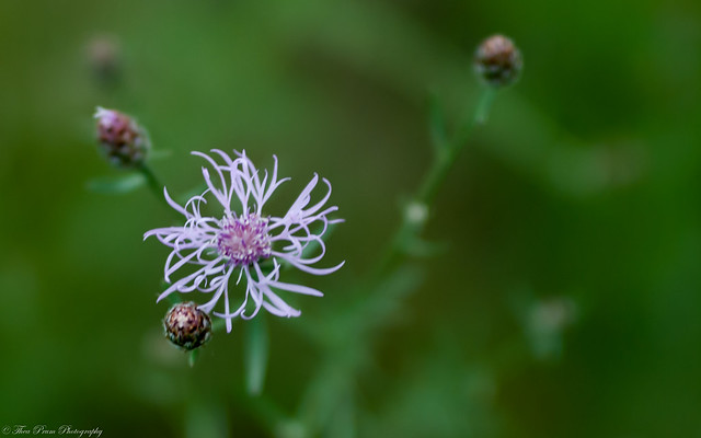 Spotted knapweed wild flower
