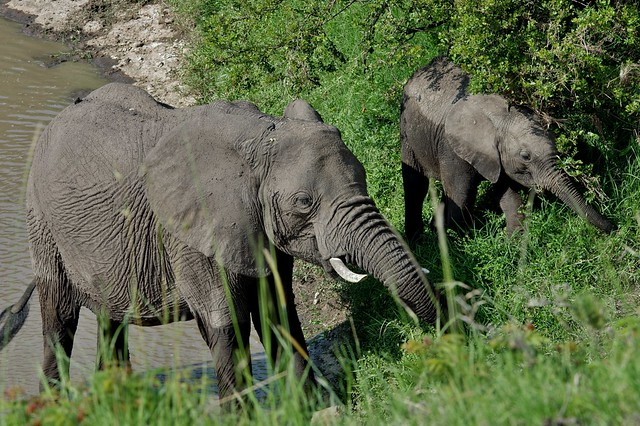 2 Juvenile African Bush Elephants (Loxodonta Africana)