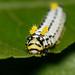 Promethea Silkmoth (Callosamia promethea) Caterpillar