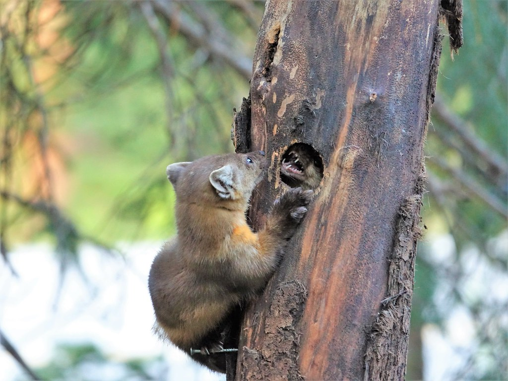 American Marten couple arguing-just outside Yellowstone NP