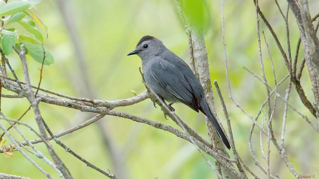 Moqueur chat, Gray catbird, Marais-Léon-Provancher, PQ, Canada - 05837
