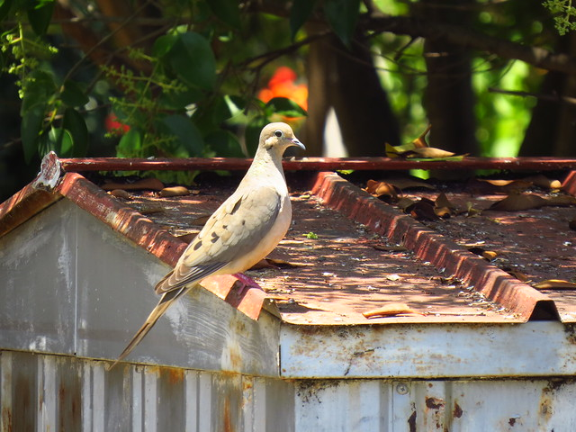 dove on shed roof 6 19 21