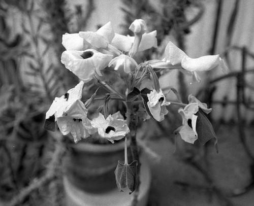 Wilting Flower (1)