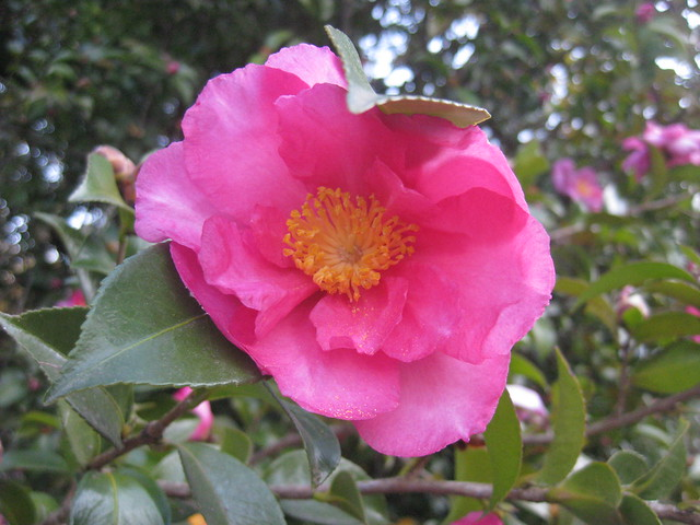 A Pink Plantation Camellia - Wandiligong