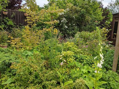 my Garden, foxgloves