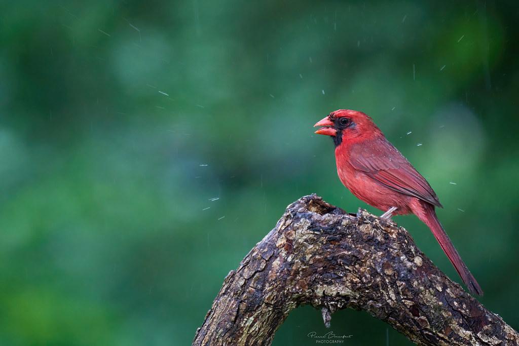 Northern cardinal - Cardinal rouge