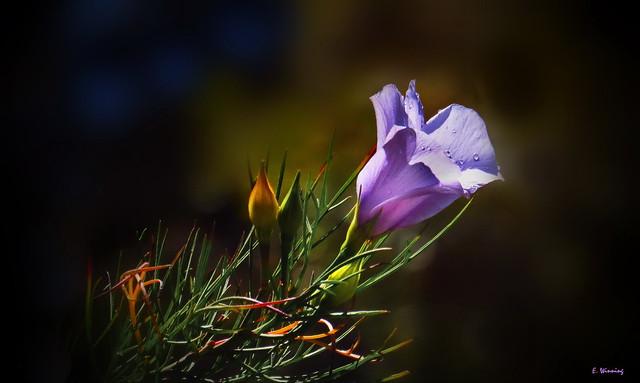 Alyogyne huegelii  Lavender 1087
