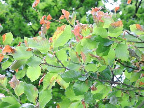 Burnt leaves prob cold wind CU.