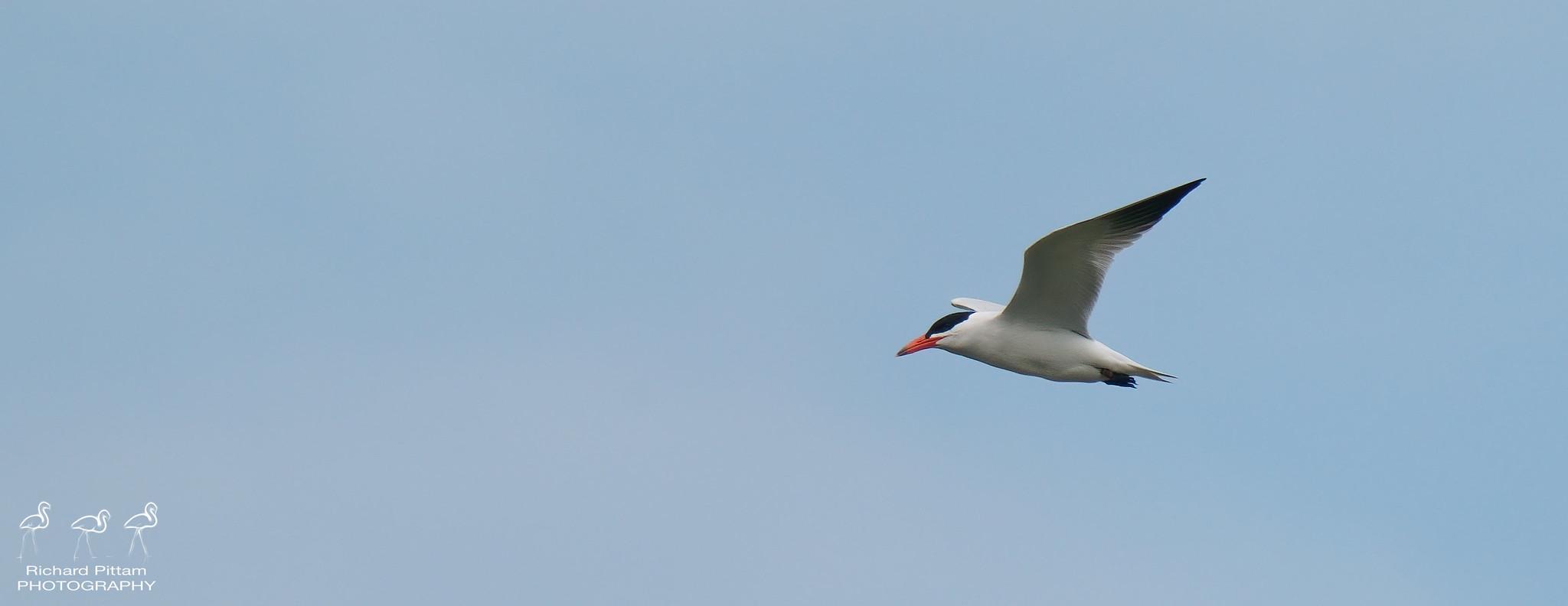 Caspian Tern - lovely bird - harsh light