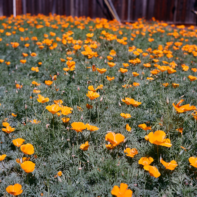 Backyard Poppies on Portra