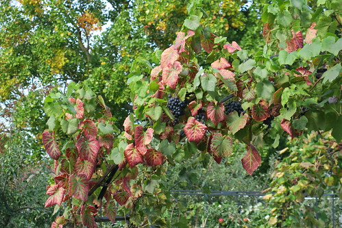 Leafroll virus grapevine Wisley