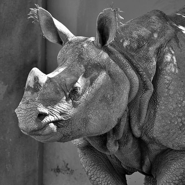 Male one horn rhinoceros Brian