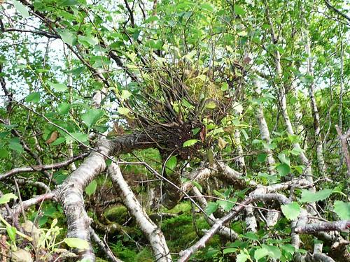 Taphrina broom birch4