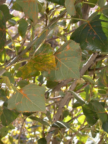 Poplar rust on foliage