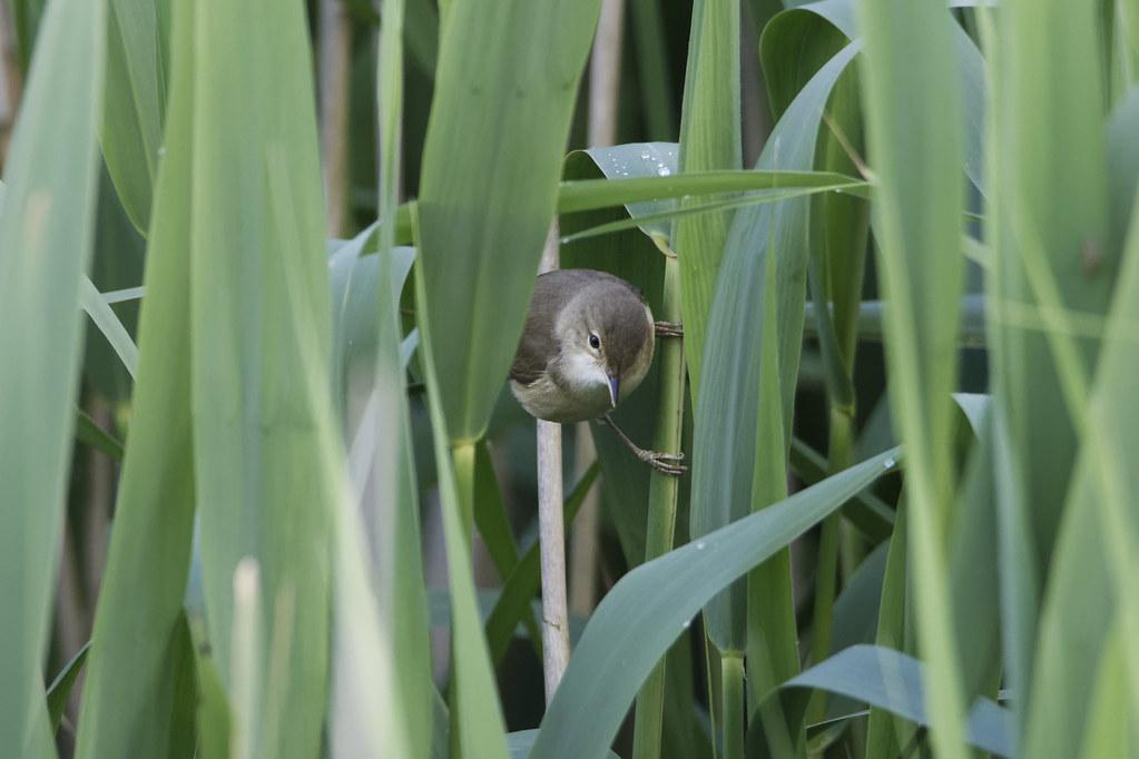 Louth Reed Warbler
