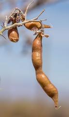 2021 06 Ironwood Seed Pod