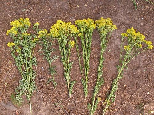 Range of ragwort stems on ground.