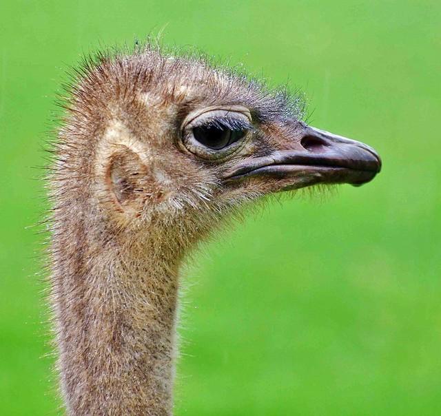 Female Ostrich Portrait (Struthio camelus)