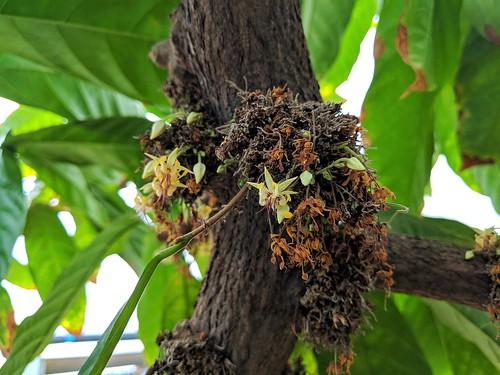 Cocoa flowers (CREDIT: Megan Richardson)