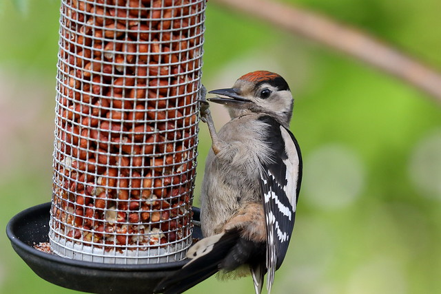 Great Spotted Woodpecker (Dendrocopos major) - Juvenile