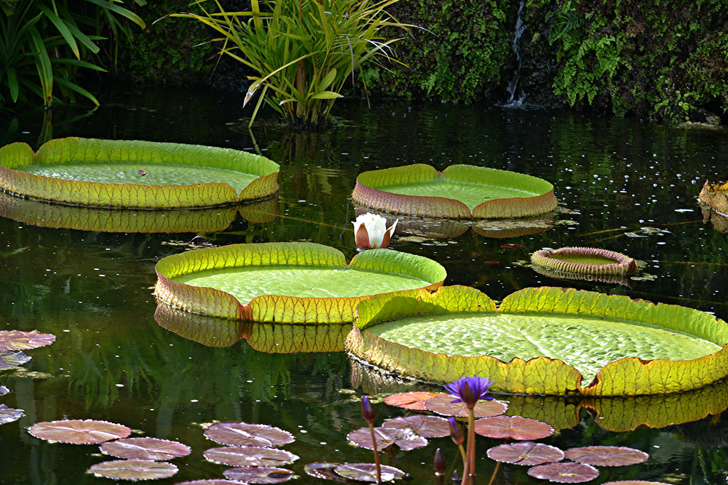 Victoria amazonica water lilies, giant floating pads and white flower