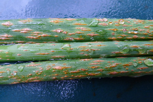Chives rust 2