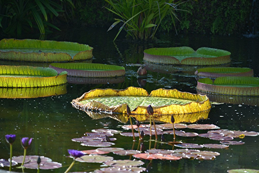 Victoria Pool water lilies and giant pads of Victoria amazonica