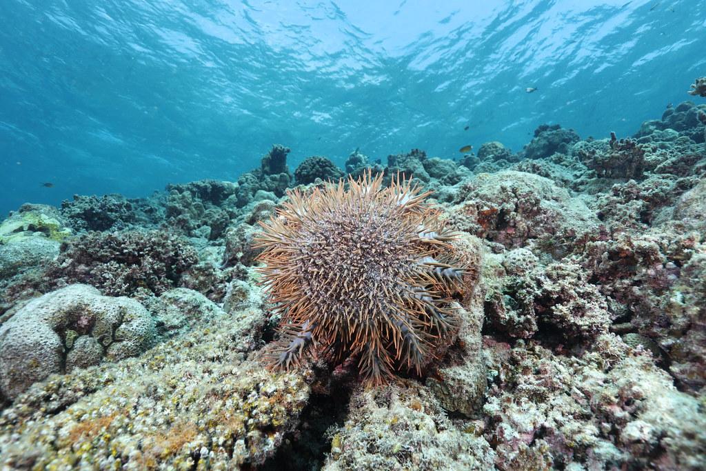 20210630「太平島棘冠海星大爆發逾9成海底珊瑚礁死亡」記者會。棘冠海星。照片提供:鄭明修