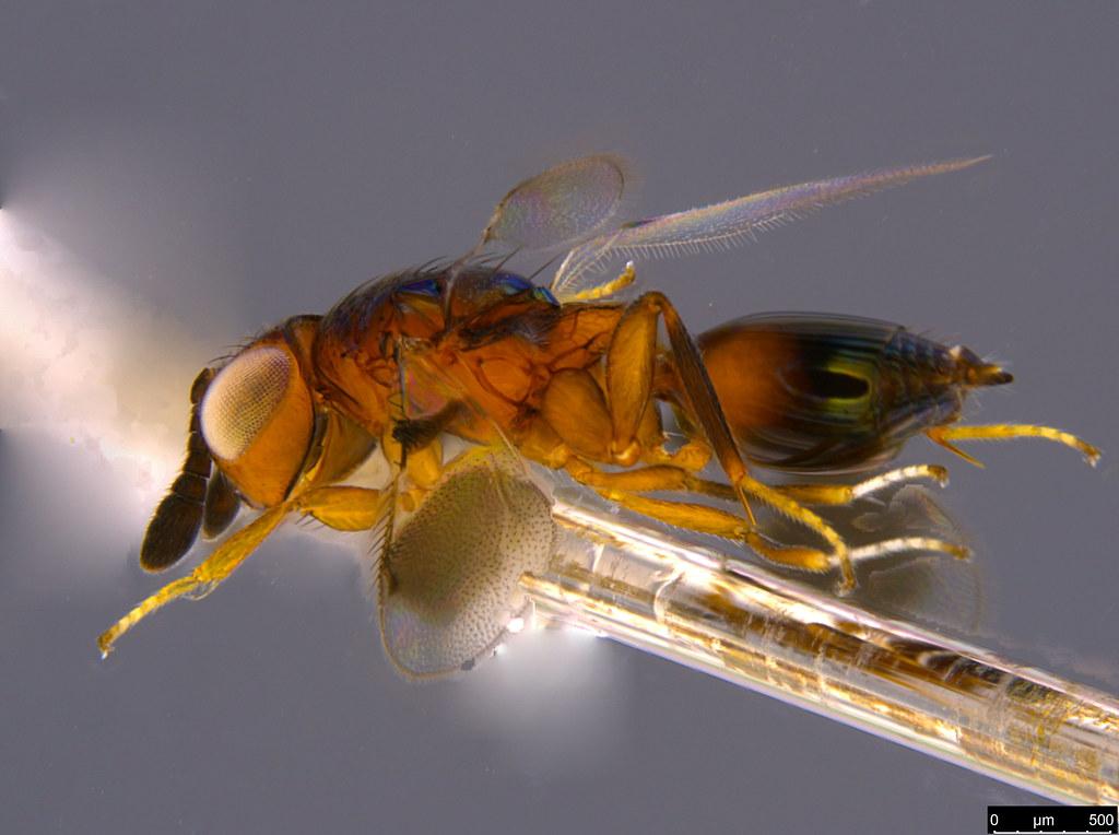 26g - Ophelosia bifasciata Girault, 1916