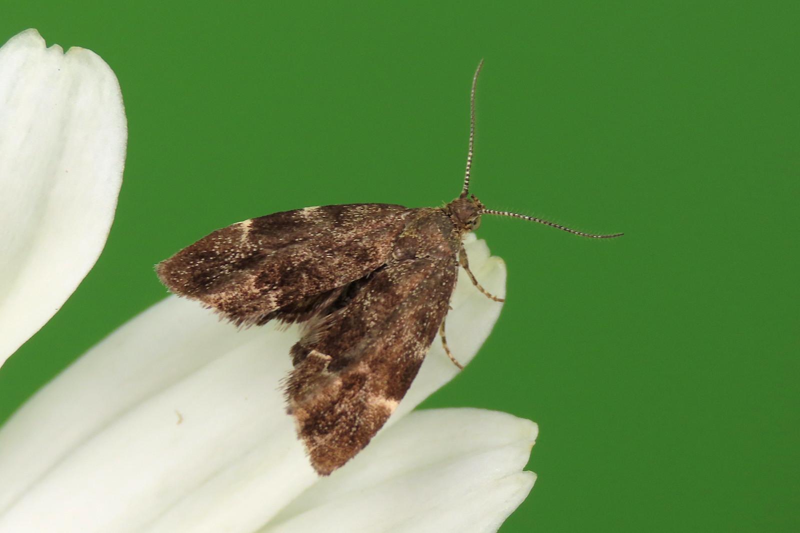 48.001 Nettle-tap - Anthophila fabriciana