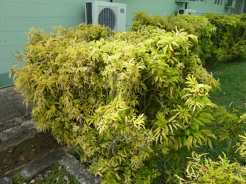 Shows difference twixt healthy and bushy leaves.