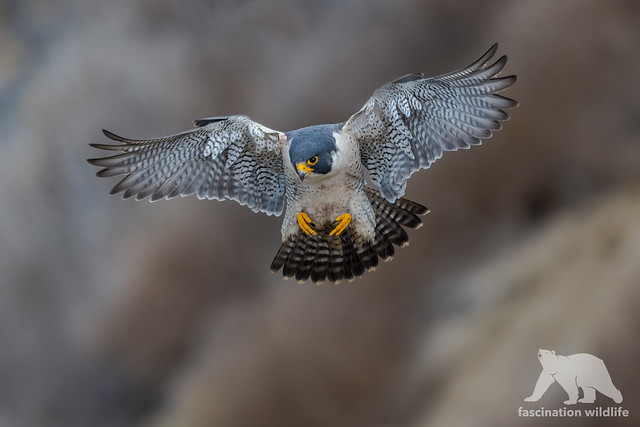 Peregrine Falcon #Explored