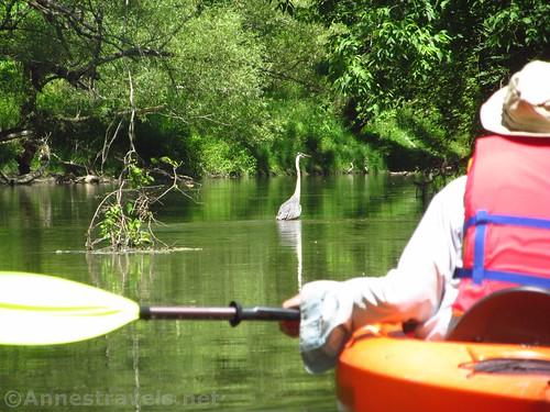 Great Blue Heron on Honeoye Creek, Rochester, New York
