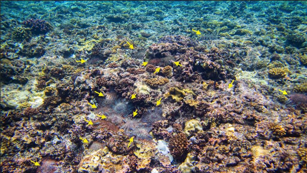 20210630「太平島棘冠海星大爆發逾9成海底珊瑚礁死亡」記者會。圖內密佈18-20隻棘冠海星。照片提供:鄭明修