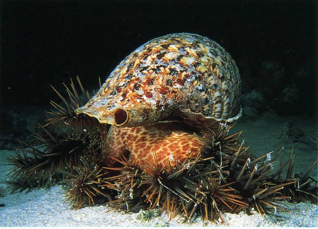 20210630「太平島棘冠海星大爆發逾9成海底珊瑚礁死亡」記者會。大法螺是棘冠海星最主要的天敵。照片提供:鄭明修