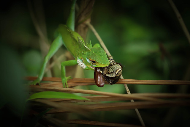 Green lizard with its prey