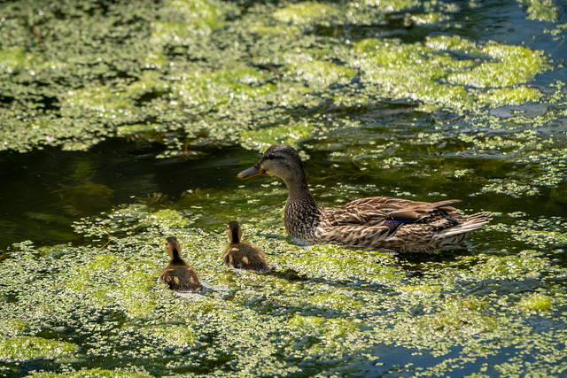 _DSC3358 Mother Duck & Goslings
