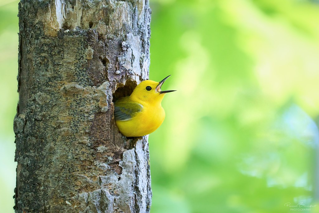Prothonotary Warbler - Paruline orangée
