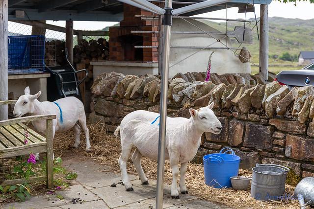 The Shearing - all done and looking sheepish