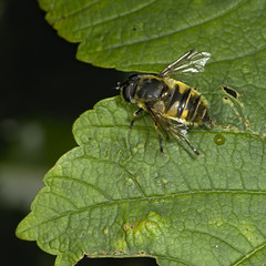 hoverfly (Eristalis sp)