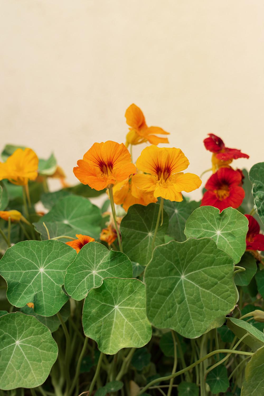 05-nasturtium-vegetables-garden-homegrown-farmtotable-recipe-food