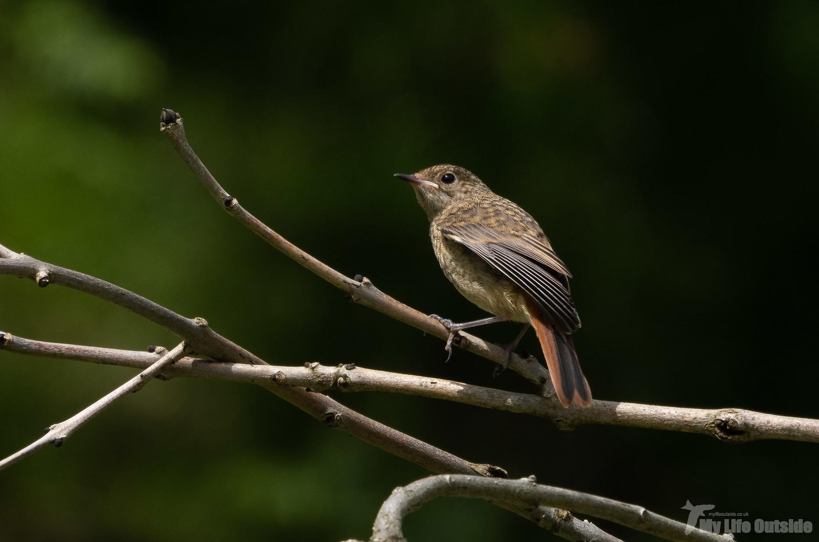 P6253349 - Redstart, Dinefwr