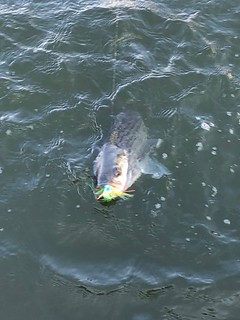 Photo of striped bass in the water