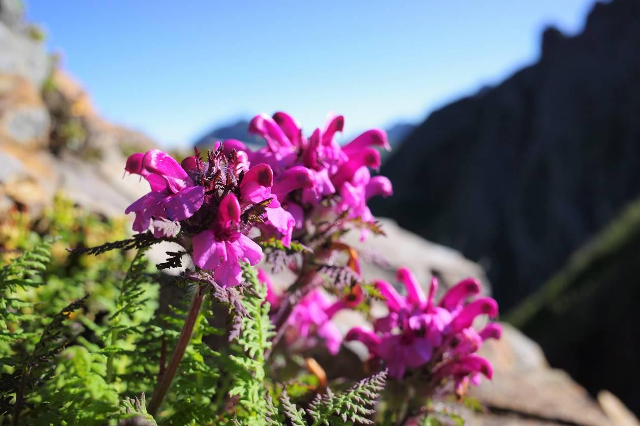 【八ヶ岳】権現岳に咲く高山植物