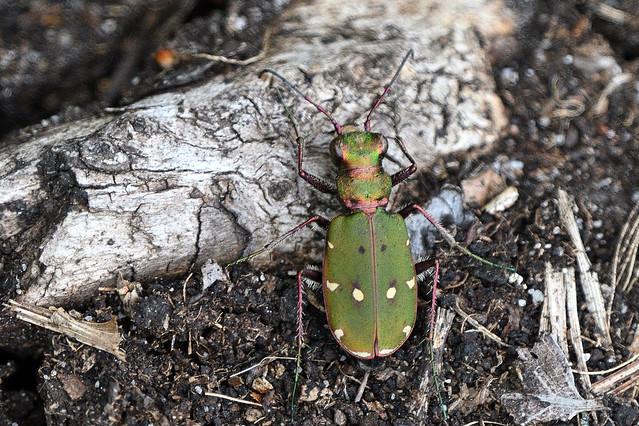Green Tiger Beetle. Cicindela campestris.
